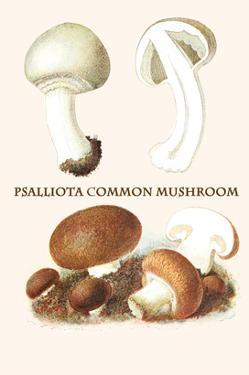 Psalliota Common Mushroom by Edmund Michael