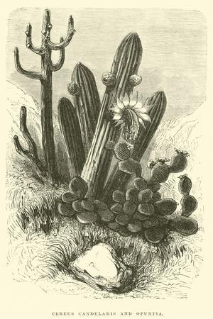 Cereus Cadelaris and Opuntia