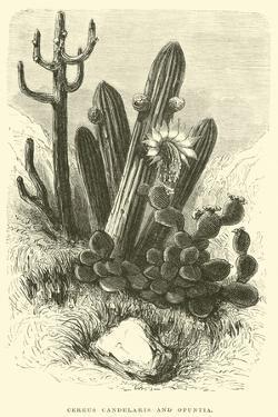 Cereus Cadelaris and Opuntia by Édouard Riou