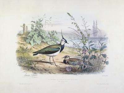 Female and Male Lapwing