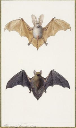 Long-Eared Bat and a Common Bat, 1834