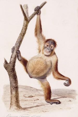 Orangutan, 1836