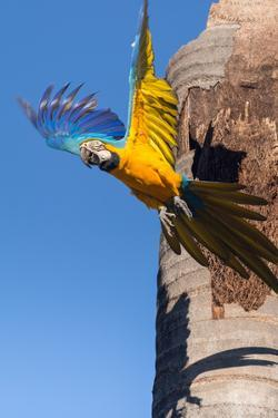 A Blue-And-Yellow Macaw, Ara Ararauna, Flying from a Palm Tree Trunk by Edson Vandeira