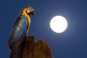 A Blue-And-Yellow Macaw, Ara Ararauna, on a Palm Tree Trunk with a Full Moon by Edson Vandeira