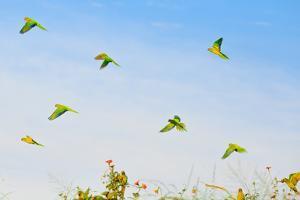 A Group of Peach-Fronted Parakeets, Eupsittula Aurea, in Flight by Edson Vandeira