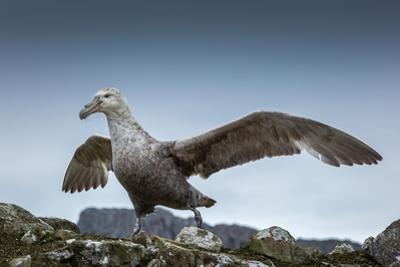 A Portrait of Giant Petrel, Macronectes Giganteus, in Antarctica