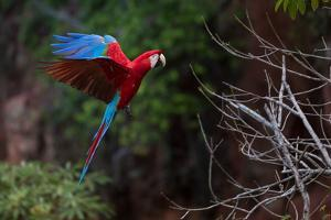 A Red-And-Green Macaw, Ara Chloropterus, in Flight by Edson Vandeira