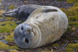 A Weddell seal pup, Leptonychotes weddellii. by Edson Vandeira