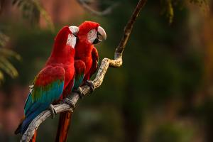 Pair of Red-And-Green Macaw, Ara Chloropterus, Perching on a Tree Branch by Edson Vandeira