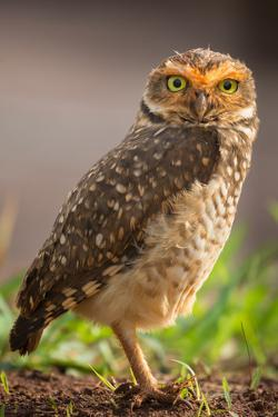 Portrait of a Burrowing Owl ,Athene Cunicularia by Edson Vandeira
