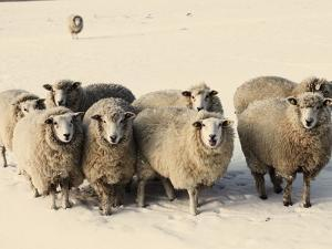 Sheep in winter by Edvard March