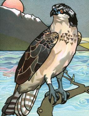 Bird Illustration, The Osprey, 1899 by Edward Detmold