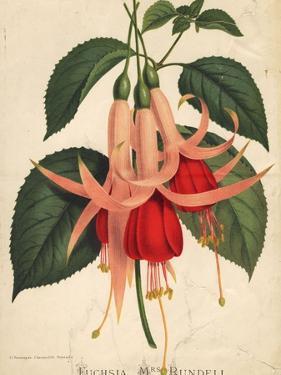 Fuchsia by Edward Gooch