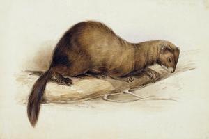 A Weasel, 1832 by Edward Lear