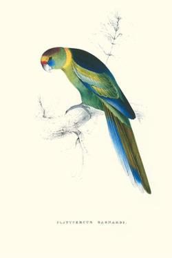 Barnard's Parakeet - Barnardius Zonarius Barnardi by Edward Lear