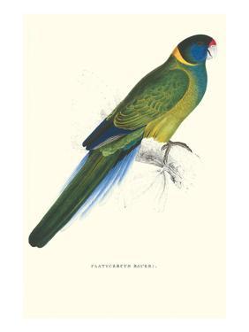 Bauer's Parakeet - Bauer Barnardius Donzarius by Edward Lear