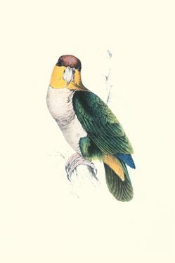 Bay Headed Parrot - Pionites Leucogasper by Edward Lear