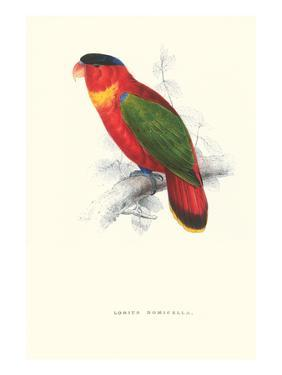 Black-Ccapped Lory - Lorius Domicella by Edward Lear