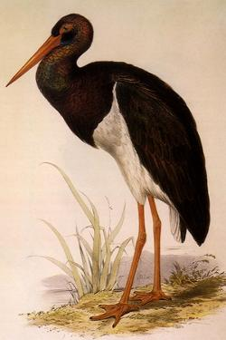 Black Stork, Ciconia Nigra by Edward Lear