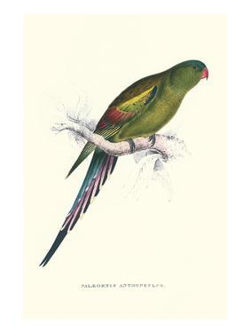 Black Tailed Parakeet(Female) - Polypelis Anthopeplus by Edward Lear