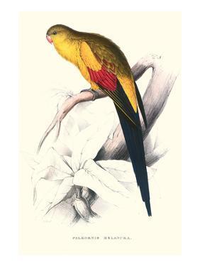 Black Tailed Parakeet(Male) - Polypelis Anthopeplus by Edward Lear