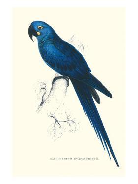 Blue and Yellow Macaw - Ara Ararauna by Edward Lear