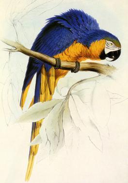 Blue and Yellow Macaw, Ara Ararauna by Edward Lear