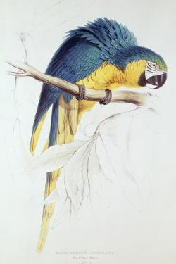 Blue and Yellow Macaw by Edward Lear