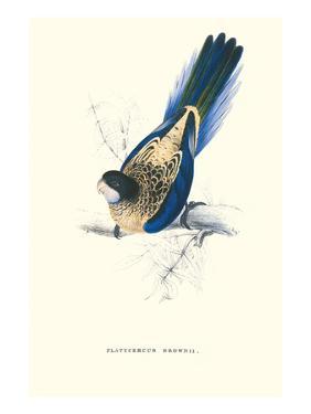 Brown's Parakeet - Platycercus Venustus by Edward Lear
