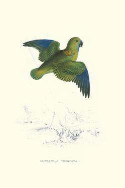 Collared Parakeet - Bolbopsittacus Lunulatus by Edward Lear