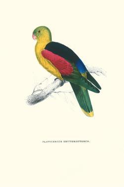 Crimson Winged Parakeet - Aprosmictus Erythropterus by Edward Lear