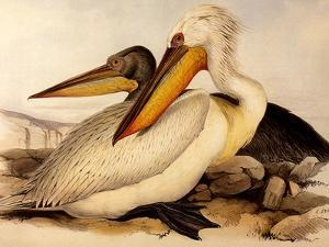 Dalmatian Pelicans, Pelecanus Crispus by Edward Lear