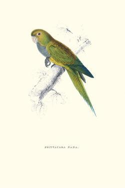 Dwarf Parakeet Macaw - Aratinga Nana by Edward Lear