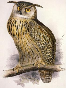Eagle Owl, Bubo Maximus by Edward Lear