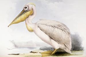 Great White Pelican by Edward Lear