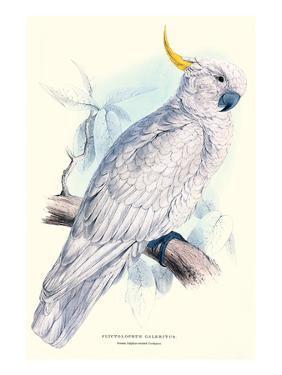 Greater Sulpher-Crested Cuckatoo - Cacatua Galerita by Edward Lear