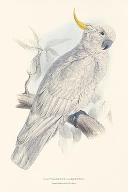 Greater Sulphur-Crested Cockatoo by Edward Lear