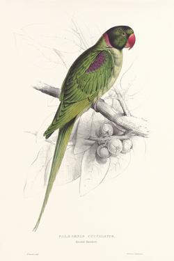 Hooded Parakeet by Edward Lear