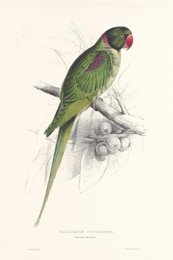 Hooded Parakeet by Edward Lear