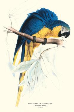Hyacinthine Macaw - Hyacinthine Anodorhynchus Leari by Edward Lear
