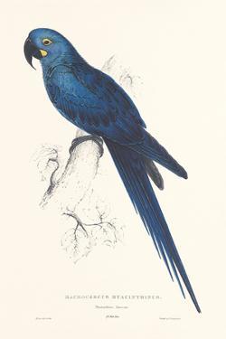 Hyacinthine Parakeet by Edward Lear