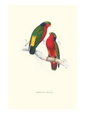 Kuhl's Parakeet - Vini Kuhli by Edward Lear