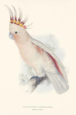 Leadbeater's Cockatoo by Edward Lear