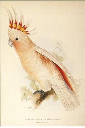 Leadbeater'S, Major Mitchell'S, or Pink Cockatoo