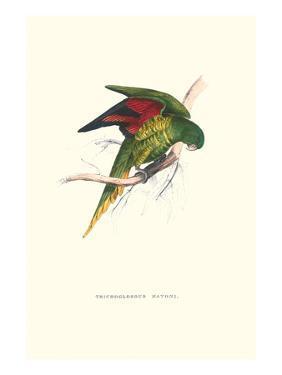 Lesser Maton's Parakeet -Trichoglossus Haematodus by Edward Lear