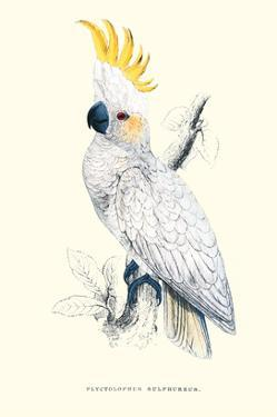 Lesser Sulpher-Crested Cockatoo - Cocatua Sulphurea by Edward Lear