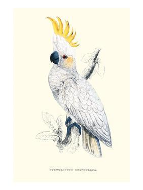 Lesser Sulpher-Crested Cockatoo - Cocatua Sulphurea by Edward Lear