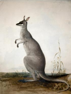Macropus Parryi, 1834 by Edward Lear