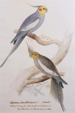 Nymphicus Nova-Hollandice (Gmel.), C.1831 by Edward Lear