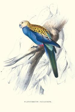 Pale-Headed Parakeet - Platycercus Adscitus by Edward Lear